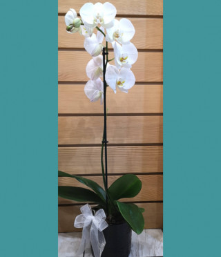 Орхидея в керамична кашпа